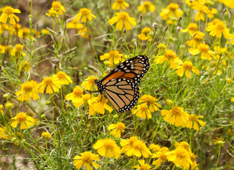 Migrating Monarch butterfly feeding on flowers in a field of bright yellow Sneezeweed