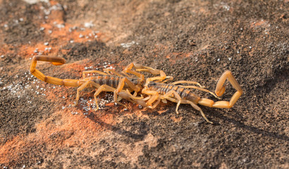Two Striped Bark Scorpions engaged in promenade a deux, a mating dance, with male holding the female by the pincers