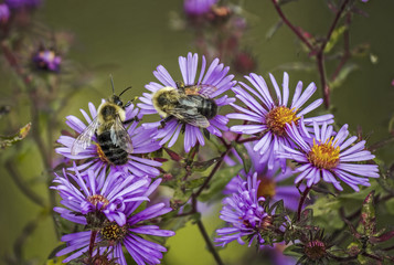 Bees on Aster Flowers