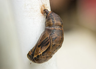 Brown Crysalis