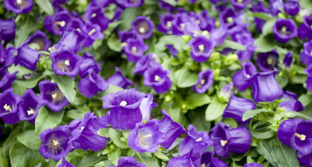 background: Bell plants full of flowers, Canterbury or Medium, purple, in full bloom of spring, in pot, in a nursery, greenhouse cultivation, ready to be sold, Italy