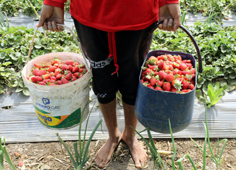 A farmer carries strawberry crop in a field in the Beheira Governorate