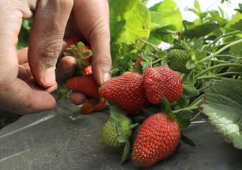 A farmer harvests his strawberry crop in a field in the Beheira Governorate