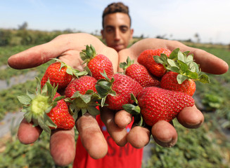 A farmer shows his harvested strawberry crop in a field in the Beheira Governorate