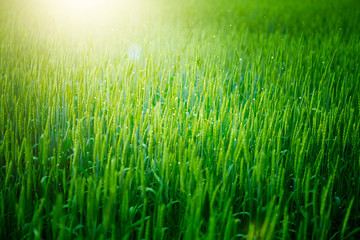 Green rye in the early morning and a ray of sun. Fairytale Photography