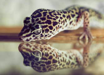A small gecko looks in reflection in a mirror in the terrarium.