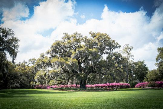 Ancient Live Oak Tree