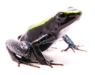 Kokoe poison dart frog, Phyllobates aurotaenia. A very poisonous and dangerous animal from the tropical Amazon rain forest in Colombia. Isolated on white background. .