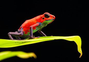 red strawberry poison dart frog Costa rica