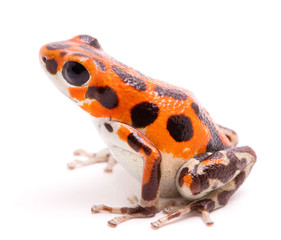 Poison arrow or dart frog, a beautiful orange amphibian. Tropical poisonous rain forest animal, Oophaga pumilio isolated on a white background.