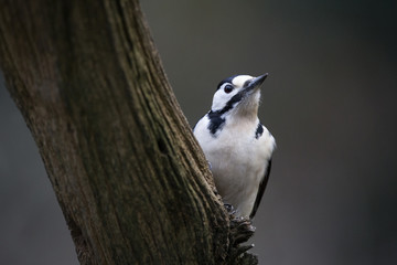 Close-up of woodpecker perching on branch