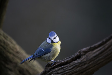 Close-up of Eurasian blue tit perching on tree