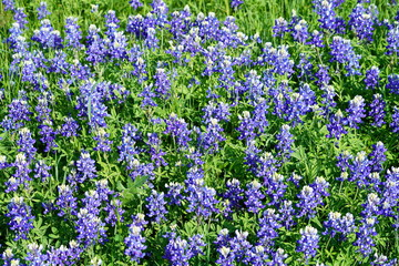 Bluebonnet flowers blooming during spring time near the Texas Hill Country