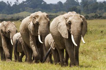Elephant family on the move in the Masai Mara national Park in Kenya