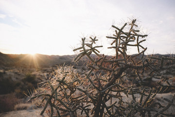 Cactus plants growing on field against sky at Joshua Tree National Park during sunset