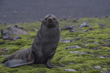 Portrait of sea lion sitting on grassy field