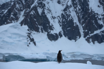 Penguin standing on snow covered landscape by lake