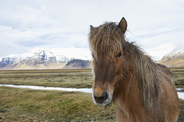 Portrait of Icelandic horse standing on grassy field against cloudy sky