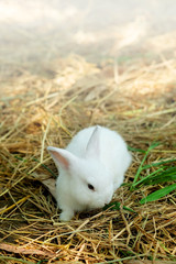 innocent little gray Rabbit in straw. Have some space for write wording