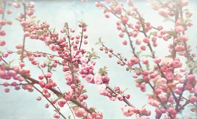spring blossom delicate pink flowers on vintage blue background