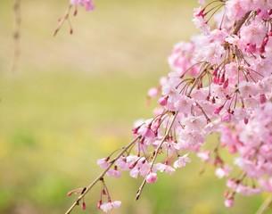 美しいピンクの枝垂れ桜