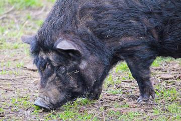 Domestic black big pig, close up photo