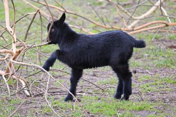 Small black domestic goat kid play with tree trunk
