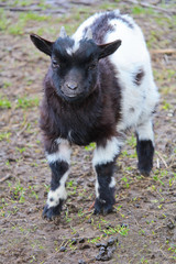 Portrait of small black and white domestic goat kid