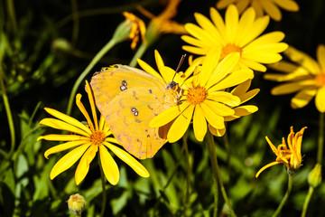 Cloudless Sulphur butterfly nestled between yellow flowers in Arizona's Sonoran desert.