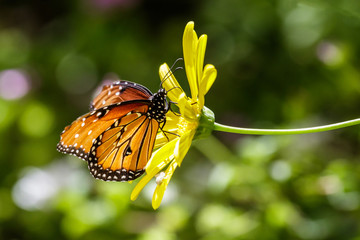 Monarch butterfly perched on yellow flower, in Arizona's Sonoran desert.