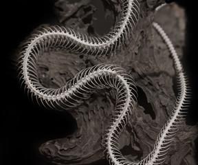 Skeleton of a snake on a black background.