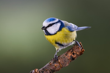 Blue tit sitting on a branch