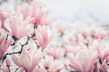 Wall Murals Magnolia Magnolia flowers in the morning light. Pastels colors