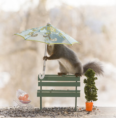 red squirrel with a umbrella on an bench