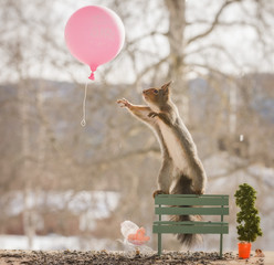 red squirrel reaching out at a balloon