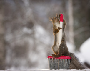 Red squirrel standing with a brush