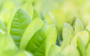 Close up and soft focus of green leaves. Nature green background with selective focus.