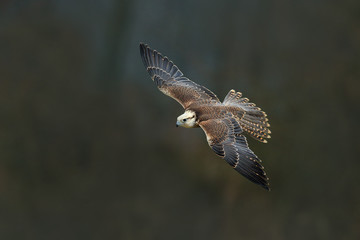 Saker falcon fly, Falco cherrug, bird of prey flight. Rare bird with white head. Forest in cold winter, animal in nature habitat, Spain. Wildlife scene form nature. Bird flight.