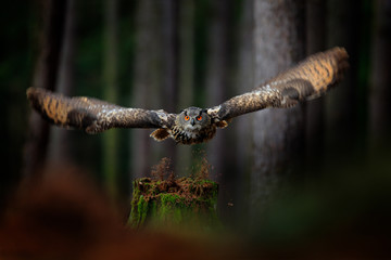Fototapete - Dark forest with bird. Owl in forest habitat, tree stump. Flying Eurasian Eagle Owl with open wings in forest habitat, Germany. Owl start flight with open wing, action wildlife scene nature.