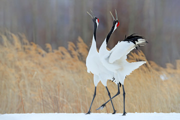 Snow dance in nature. Wildlife scene from snowy nature. Cold winter. Snowy. Snowfall two Red-crowned crane in snow meadow, with snow storm, Hokkaido, Japan. Crane pair, winter scene with snowflakes.
