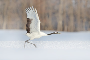 Start Red-crowned crane in snow meadow, with snow storm, Hokkaido, Japan. Bird in fly, winter scene with snowflakes. Snow dance in nature. Wildlife scene from snowy nature. Cold winter. Snowy.