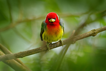Barbet in the habitat. Red-headed Barbet, Vera Blanca, Costa Rica, exotic grey and red mountain bird,  Wildlife scene from nature. Birdwatching in South America. Beautiful bird from tropic forest.
