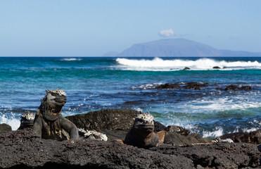 Galapagos Marine Iguana (Amblyrhynchus cristatus) on lava rock, in its natural environment, Galapagos Islands