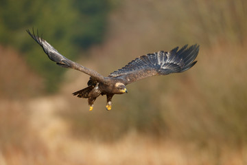 Flying dark brawn bird of prey Steppe Eagle, Aquila nipalensis, with large wingspan. Wildlife scene from nature. Action fly scene with eagle. Wildlife Europe. Tree meadow in background.
