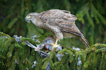 Wall Mural - Bird behaviour. Bird of prey Goshawk kill jay on green spruce tree.