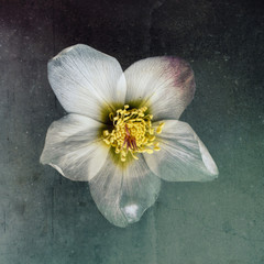 Christmas Rose, white with texture, top view