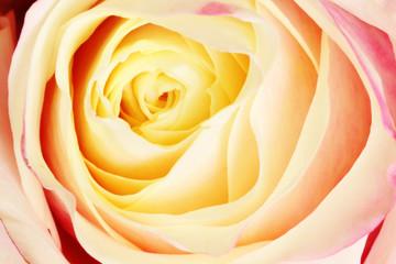 Closeup of a colorful rose (Rosaceae).