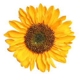 Wonderful Sunflower (Helianthus annuus) isolated on white background, including clipping path.