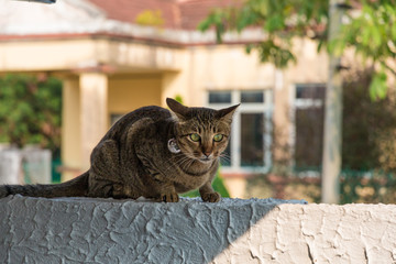 A grey mackerel tabby cat (Felis catus) on a white wall in a hunting position, wearing a collar with a big bell.