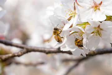 봄의 전령사 벚꽃과 꿀벌의 비행